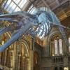 Hope, lo scheletro di balenottera sospeso dal soffitto della Hintze Hall © The Trustees of the Natural History Museum, London [2017]. All rights reserved