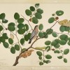 Shaikh Zain ud-Din, Brahminy Starling with Two Anteraea Moths, Caterpillar and Cocoon in Indian Jujube Tree, Impey Album, Calcutta, 1780. Gift of Elizabeth and Willard Clark, © Minneapolis Institute of Art home